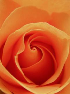 Peach Rose Samsung Theme Mobile Theme