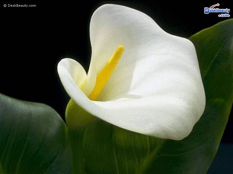 download white flower sony ericsson theme  mobile toones, Beautiful flower