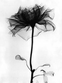 Black Rose Mobile Wallpaper