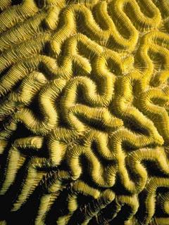 Coral Mobile Wallpaper