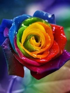 Colour Roses Mobile Wallpaper