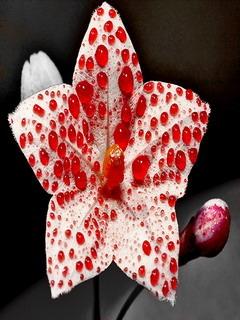 Red Flower Drops Mobile Wallpaper