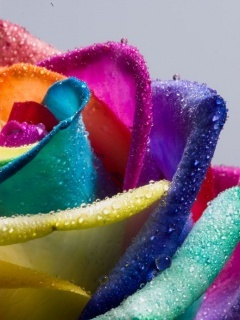 Rainbow Rose Mobile Wallpaper