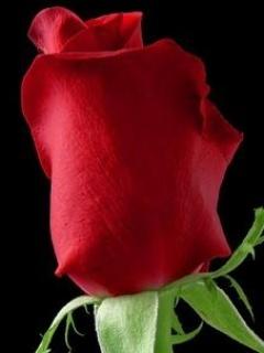 Love Rose Mobile Wallpaper