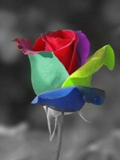 Color Rose Mobile Wallpaper