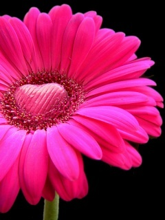 Pink Beauty Flower Mobile Wallpaper