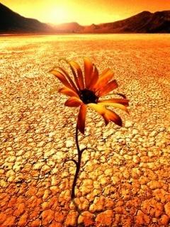 Desert Flower Mobile Wallpaper