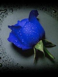 Blue Rose Mobile Wallpaper