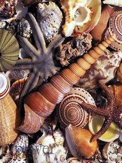 Shells Mobile Wallpaper