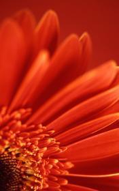 Red-petals Mobile Wallpaper