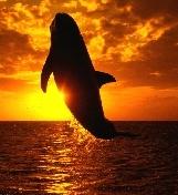 Flying Dolphin Mobile Wallpaper