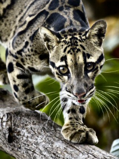 Clouded Leopard Mobile Wallpaper
