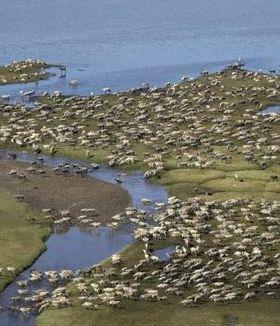 Caribou Herd Alaska Mobile Wallpaper