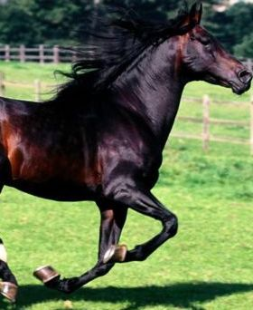 Full Stride Spanish Horse Mobile Wallpaper