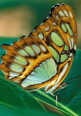 Malachite Butterfly Mobile Wallpaper