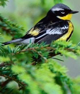 Male Magnolia Warbler Mobile Wallpaper