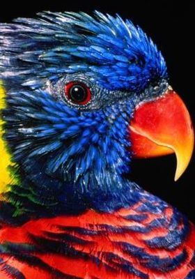 Rainbow Lorikeet Mobile Wallpaper