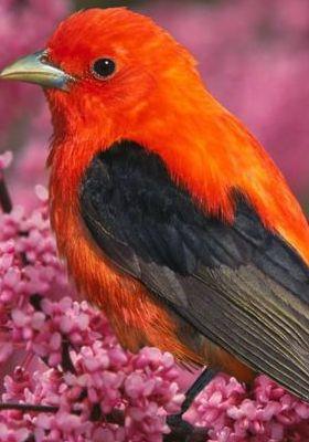 Scarlet Tanger Mobile Wallpaper