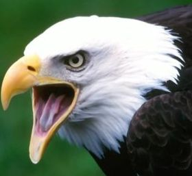 Screaming Eagle Mobile Wallpaper