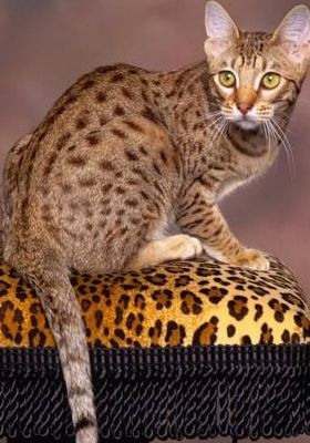 Spotted Choclates Ocicat Mobile Wallpaper