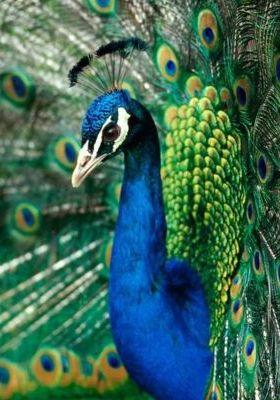 True Color Peacock Mobile Wallpaper