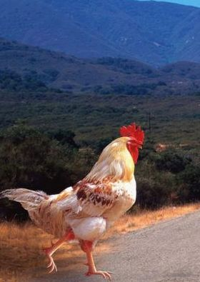 Why Did The Chicken Crose The Road Mobile Wallpaper