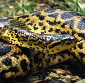 Yellow Anaconda Mobile Wallpaper