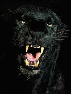 Danger Black Tiger Mobile Wallpaper