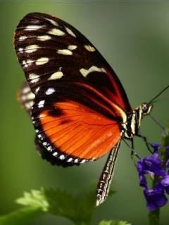 Butterfly1 Mobile Wallpaper