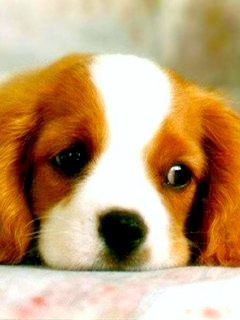 Dog Thinking Mobile Wallpaper