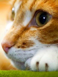 Cat Looking Mobile Wallpaper