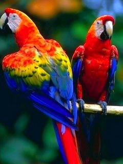 2 Parrots Mobile Wallpaper