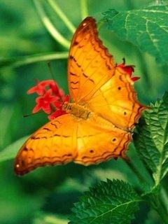 Butterfly 1 Mobile Wallpaper