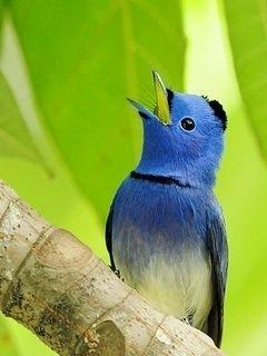 Blue Bird Mobile Wallpaper