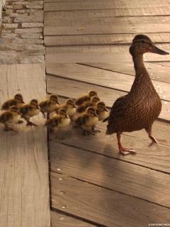 Quack Mobile Wallpaper