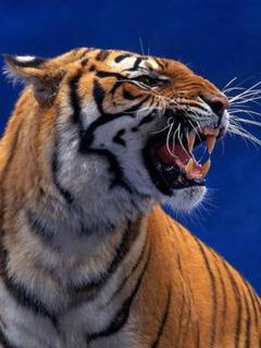 Tiger 2 Mobile Wallpaper
