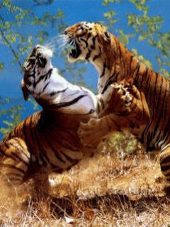 Tiger Fight Mobile Wallpaper