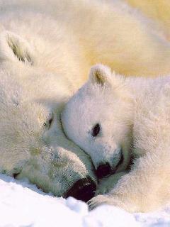 White Bears Mobile Wallpaper