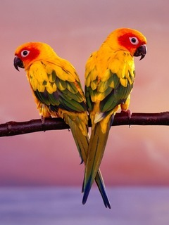 Sun Conure Parrots Mobile Wallpaper