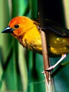 Yellow Bird Mobile Wallpaper