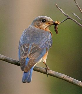 Eating Bird Mobile Wallpaper