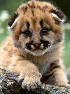 Mountain Lion Cub Mobile Wallpaper