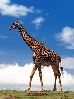 Giraffe Mobile Wallpaper