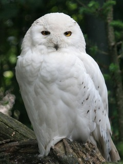 Snowy Owl Mobile Wallpaper