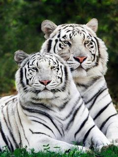 White Tiger  Mobile Wallpaper