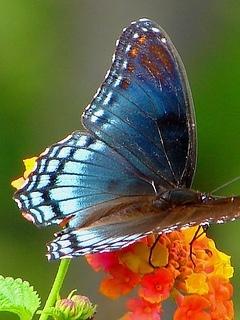 Butterflys Mobile Wallpaper