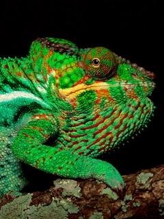 Chameleon Mobile Wallpaper