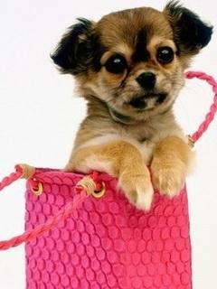 Puppy In A Handbag Mobile Wallpaper