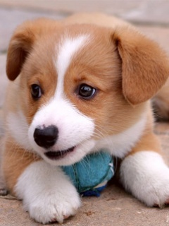 Little Cute Dog Mobile Wallpaper
