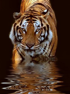 Tiger In Water  Mobile Wallpaper